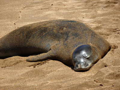 Endangered Monk Seal on our Beach